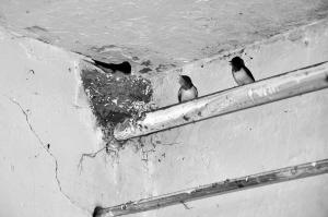 燕子们寄居在老林的门市房里,悠闲地生活着。 华商晨报记者 程喜刚 摄