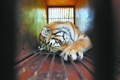 饱受旅途颠簸的老虎大部分在笼中酣睡 记者 查金辉 摄