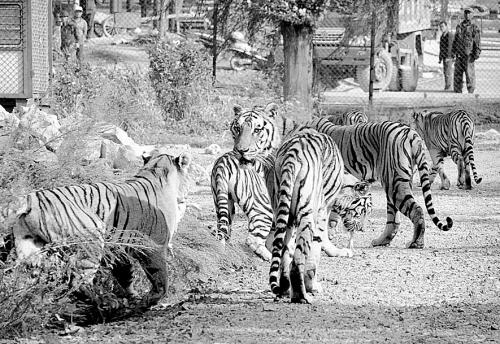 多少年前沈阳动物园的东北虎我看过,不怎么凶猛,不是在洞里不出来,就