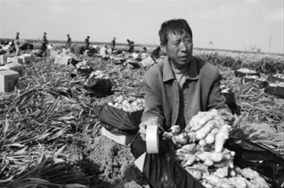 """昔日的""""姜你军""""今年风光不再,葫芦岛市绥中县塔山屯镇丰收的4000万公斤生姜因为卖不出去成了""""老大难""""."""