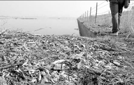 浑河岸边堆着一片片的死鱼 记者 李占洲 摄
