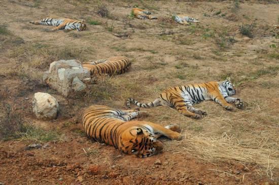 老虎在集体打盹