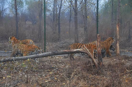 被老虎折断的树杆