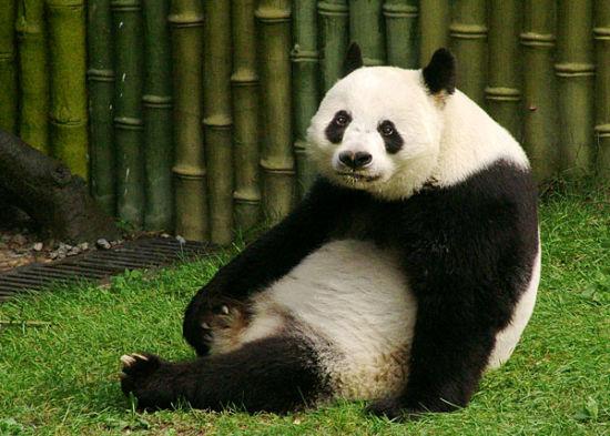 """大连森林动物园大熊猫馆""""十一""""黄金周投入使用"""
