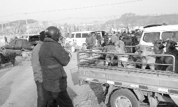 一辆车厢里装了10只狗。记者 马万冬 摄