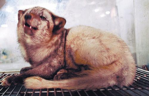被误认为流浪犬的灰狐狸。记者 王勇 摄