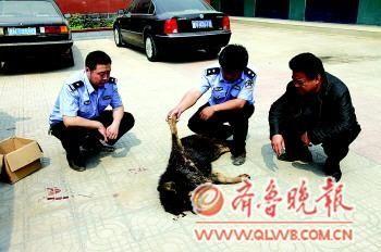 藏獒被击毙。本报通讯员马慧超摄