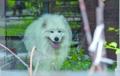 昨日上午10时许,沈阳市大东区一户居民家中的有证萨摩犬因扰民遭投诉,被送到乡下寄养。 记者 查金辉 摄