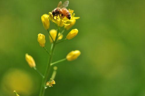 金黄黄的油菜花