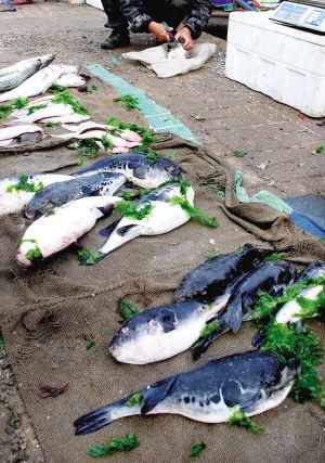早市摊床前摆放的河豚鱼供人挑选。刘莉莉 摄