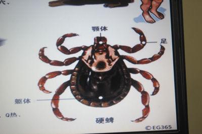 蜱虫属于寄螨目、蜱总科。成虫在躯体背面有壳质化较强的盾板,通称为硬蜱,属硬蜱科;无盾板者,通称为软蜱。蜱是许多种脊椎动物体表的暂时性寄生虫,是一些人兽共患病的传播媒介和贮存宿主。