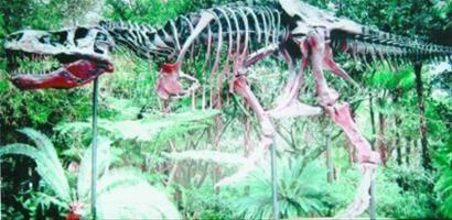 暴龙化石复原图。记者 张辉 摄