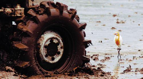 牛背鹭在北方跟随拖拉机啄食翻出的昆虫