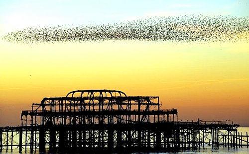 英国布赖顿码头的欧椋鸟群