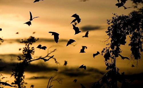 赞比亚卡桑卡蝙蝠迁徙