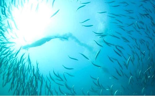 南非的沙丁鱼汛
