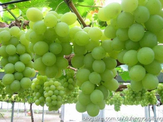 新疆诱人的葡萄宴