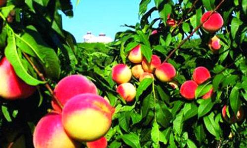 万亩果园里除了桃子还有各种各样的水果在枝头招展