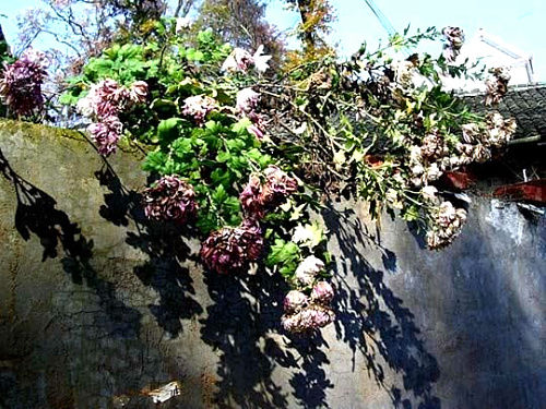临安老屋墙头的菊花 图:杭州网