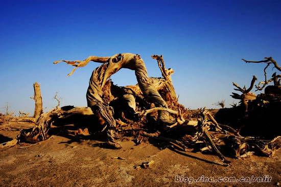 新浪旅游配图:枯萎的胡杨 摄影:海蓝宝石