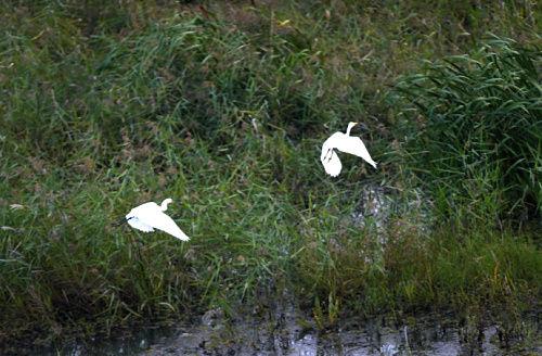 芦苇丛中两只白鹭