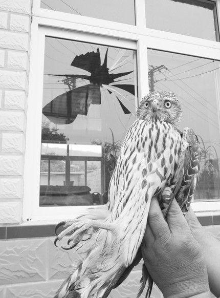 撞碎玻璃的雏鹰