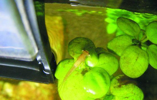 蜻蜓潜进市民家中产卵