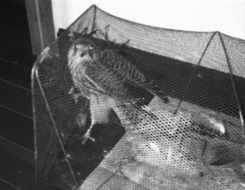 """10月20日中午,出于保护鸟的目的,于先生花50元将这只 """"像鹰一样的鸟""""带回家。 于先生供图"""