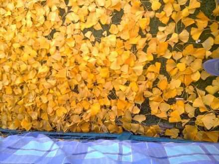 金黄色的地毯,踩上去软绵绵的。(来自林景侑的新浪微博)
