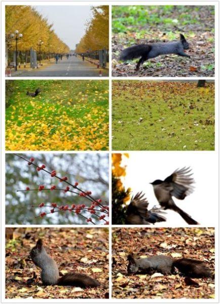 """""""农大""""无愧""""农大"""",除各种树木、鸟儿、动物与人和谐相伴。今天在农大拍银杏树,到处都能见到松鼠,和各种鸟儿。(来自小来子xlz的新浪微博)"""
