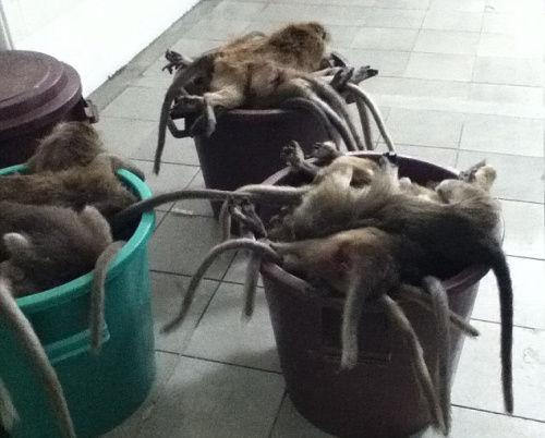 英数百猴子因超重无法用于试验遭屠杀弃尸垃圾桶(图)