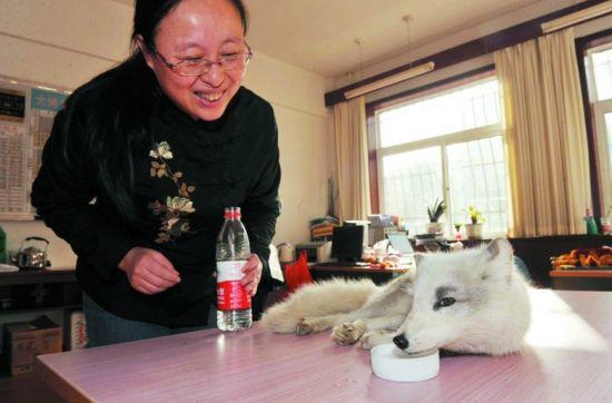 小白狐很享受阳光的温暖。记者 孟楠 摄