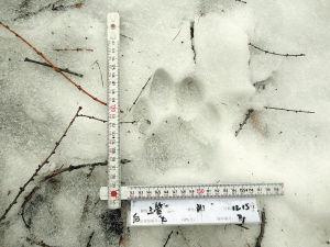 雪地里的老虎脚印 WCS供图