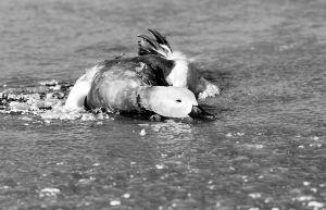 一只死亡的野鸭被冻在冰面上