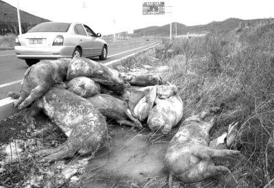 死猪被扔在了路边。