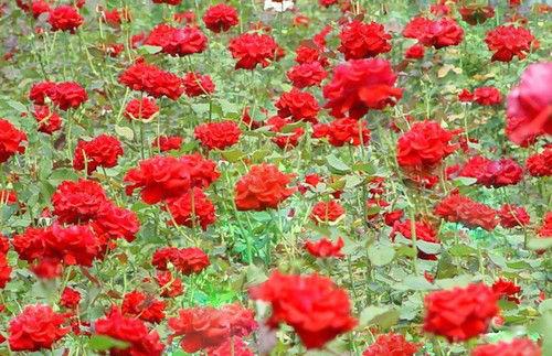 保加利亚玫瑰园