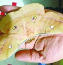 """过年时买的活茧蛹,在地热上烤了20天以后,昨晚竟然羽化成了一只""""蝴蝶""""。微博网友供图"""