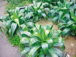 珍贵的植物叶片上竟然刻满了字,太不应该了。李晶泽 供图