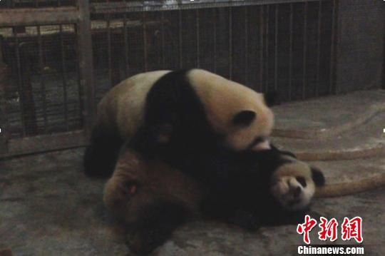 初次交配失败 成都大熊猫繁育研究基地提供