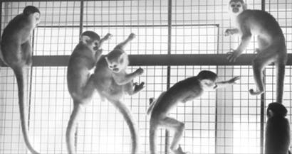 松鼠猴产于南美洲,体长20~40厘米。摄影记者孙振芳