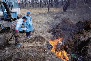 大东区动物卫生监督所工作人员将死猪进行无害化处理 ■本报记者 王舜天 摄