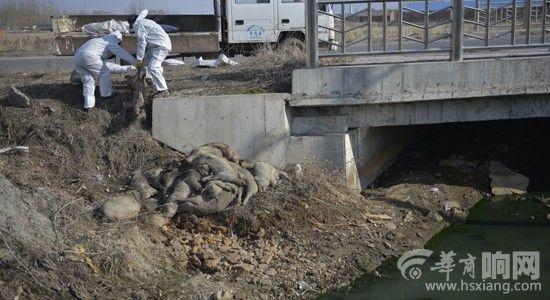 于洪区西爱线的水渠旁发现25头死猪,农管委动监科的工作人员进行转移处理  ■本报记者 王野 摄