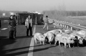 """交警在高速上""""看守""""猪两个多小时■华商晨报 华商响网记者 王洁 摄"""