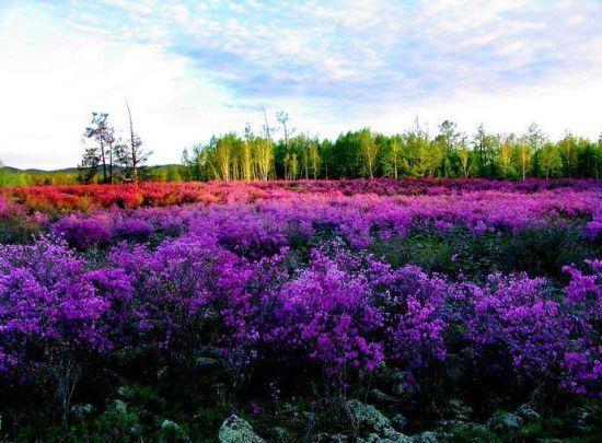新浪旅游配图:达尔滨湖的杜鹃 摄影:冰城馨子