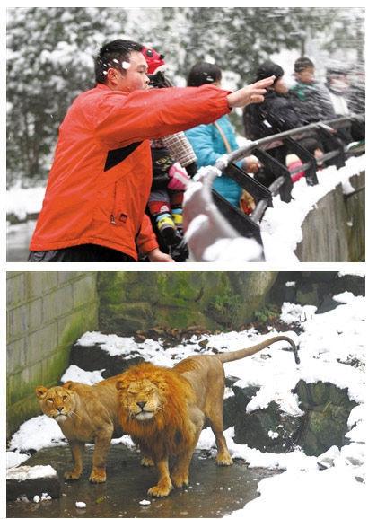 拿雪球砸非洲狮