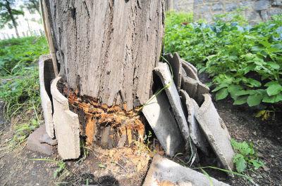 树皮被剥一圈后,还被人用瓦遮挡上。