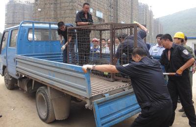 市养犬管理办工作人员将狗控制住,装进笼子带走。