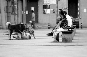 """广场上,没拴狗链的阿拉斯加犬和金毛犬""""撕咬""""嬉闹一处"""