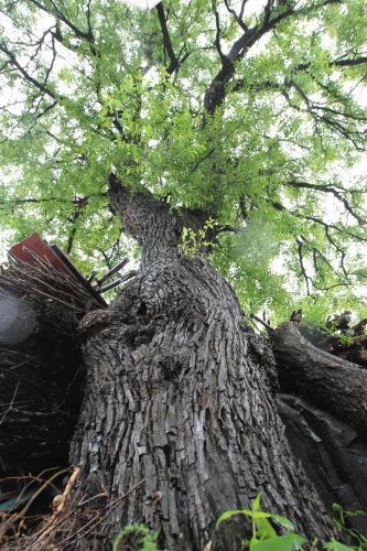 枣树树干周长163厘米,直径51厘米。