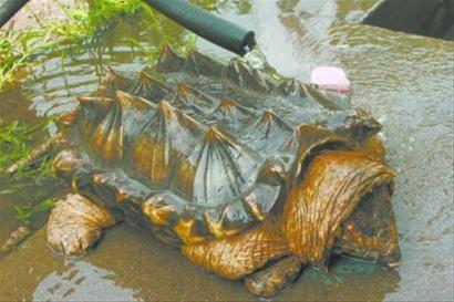 这就是出现在葫芦岛海边的美洲鳄鱼龟,渔政部门提醒不要随意购买和放生,以免危害本地生态环境。 北国网、辽沈晚报驻葫芦岛记者胡清 摄